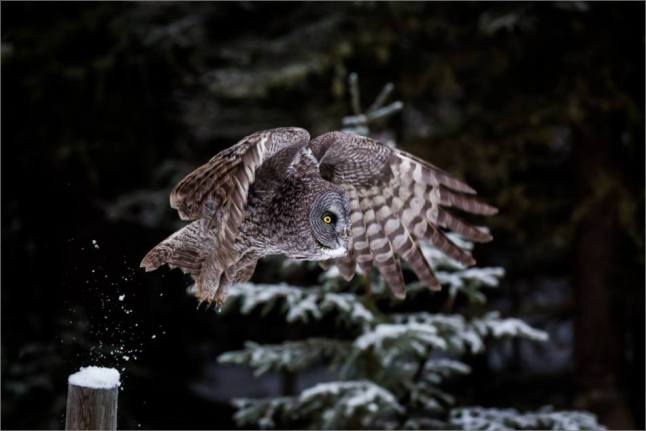 a-great-gray-owl-in-bragg-creek-christopher-martin-2705