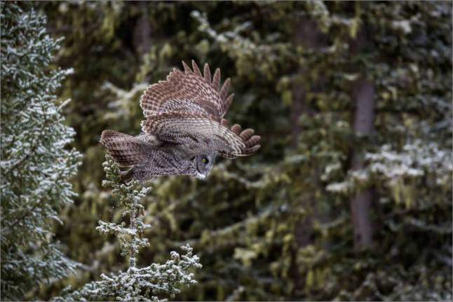 a-great-gray-owl-in-bragg-creek-christopher-martin-2719